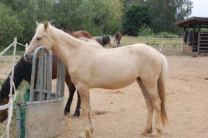 Mia Koda (Spanish Mustang)