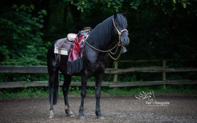 """Black Mustang""  Kanadischer Suffield Mustang Deckhengst der Extraklasse"