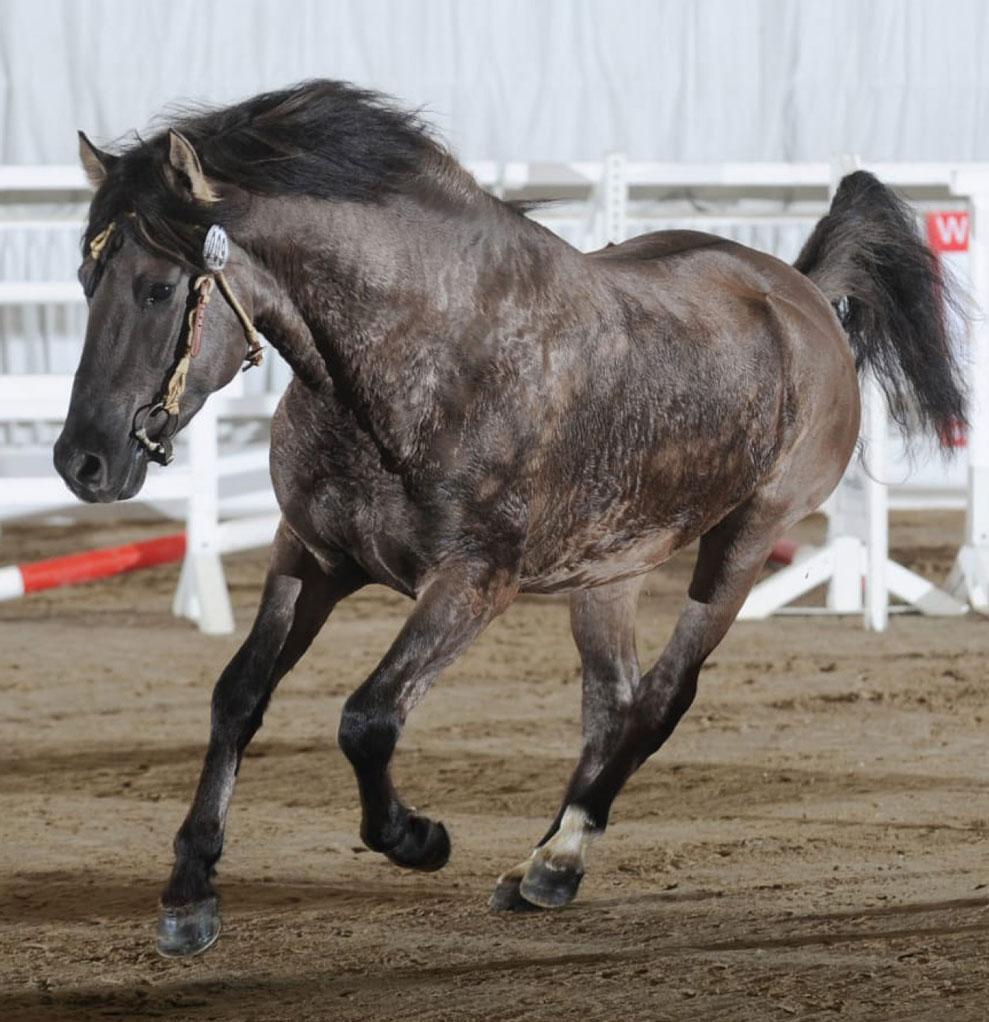 """Kiger Mustang Deckhengst """"Mestenos Mountain Desert King"""" (Rufname: Chesmu)"""