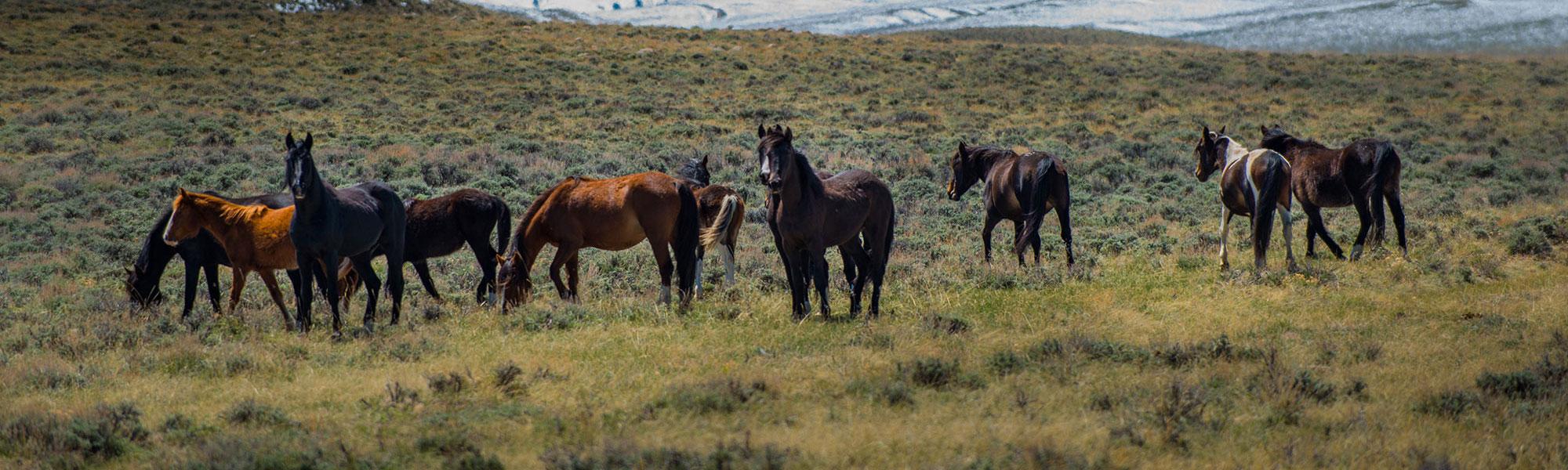 freilebende Mustangs