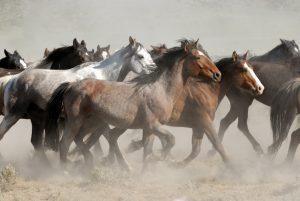 wild lebende Mustangs