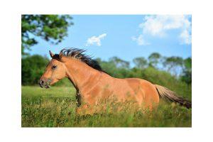 Kiger Mustang, Quelle: Maria Müller