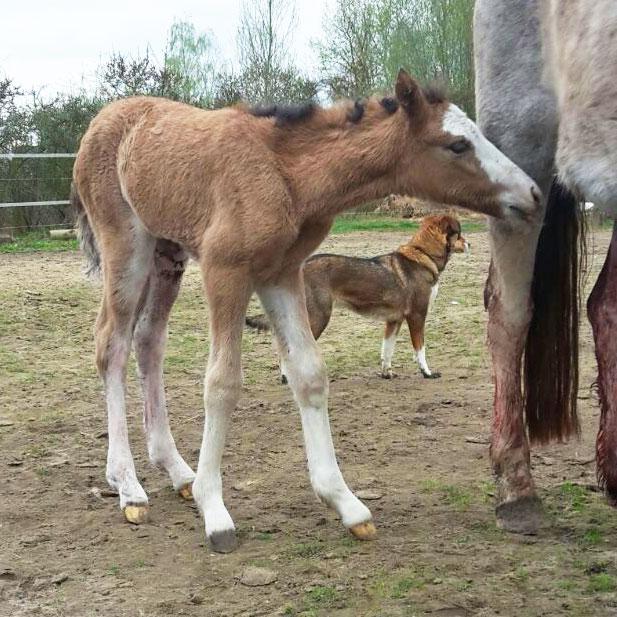 Erstes Spanish Mustang Fohlen 2017